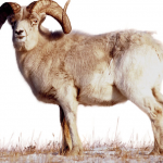 Year of the Sheep and the Chinese 19-Year Lunar Cycle